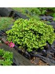 Picea abies LITTLE GEM törpe fészekfenyő