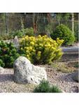 Pinus mugo WINTER GOLD