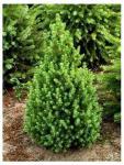 Picea glauca CONICA - Cukorsüvegfenyő