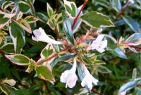 Abelia grandiflora PANACHE  - Tárnicslonc