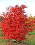 Acer palmatum Atropurpureum – Vöröslevelű japán juhar