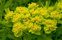 Euphorbia palustris - mocsári kutyatej