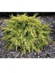Juniperus x media Saybrook gold