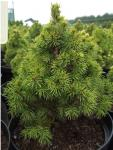 Picea Glauca Rainbow's end