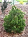 Pinus leucodermis COMPACT GEM Törpe páncélfenyő
