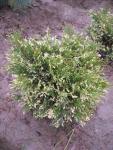 Thuja occidentalis Eszter 20/30 cm