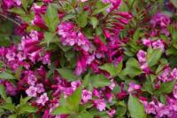 Weigela florida SUNNY PRINCESS