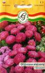 Őszirózsa alacsony rózsaszín