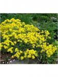 Aurinia saxatilis 'Goldkugel' Szirti ternye