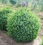 Picea omorika NANA - Törpe szerb lucfenyő