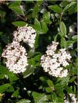Viburnum x burkwoodii Tavaszi bangita