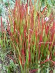 Imperata cylindrica Red Baron (bordó levelű alangfű)