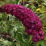 Buddleia davidii ROYAL RED - Bíborpiros nyáriorgona