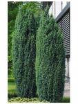 Juniperus chinensis STRICTA - Kékeszöld kínai boróka