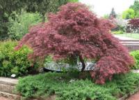 Acer palmatum DISSECTUM Vörös Japán juhar