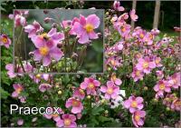 Anemone hupehensis Kínai Szellőrózsa