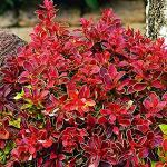 Berberis thunbergii ADMIRATION