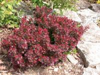 Berberis thunbergii ATROPURPUREA NANA -Törpe japán vérborbolya