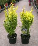 Berberis thunbergii GOLDEN TORCH ®