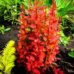 Berberis  thunbergii ORANGE ROCKET
