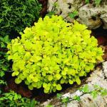 Berberis thunbergii TINY GOLD