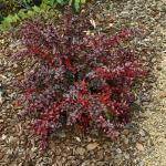 Berberis x media RED JEWEL - Fényes levelű ékszerborbolya