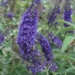 Buddleia davidii EMPIRE BLUE - liláskék nyáriorgona