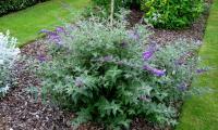 Buddleia davidii NANHO BLUE - Kék nyáriorgona