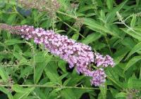 Buddleia davidii ORCHID BEAUTY - Mályvarózsaszín nyáriorgona
