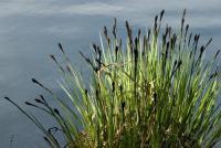 Carex nigra - fekete sás
