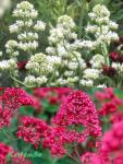 Centranthus Ruber Sarkantyúvirág