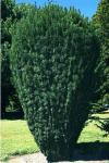 Cephalotaxus harringtonii FASTIGIATA