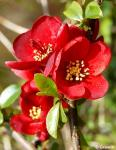 Chaenomeles superba CRIMSON AND GOLD