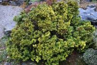 Chamaecyparis pisifera COMPACTA