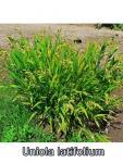 Chasmanthium latifolium - széleslevelű különösfű