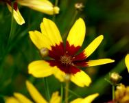 Coreopsis Verticillata Menyecskeszem 3.