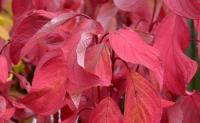 Cornus alba BATON ROUGE ®