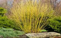 Cornus stolonifera FLAVIRAMEA - Sárga vesszejű som
