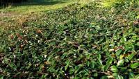 Cotoneaster BELLA