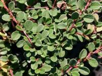 Cotoneaster procumbens QUEEN OF CARPETS