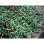 Cotoneaster salic. PARKTEPPICH