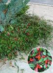 Cotoneaster salic. HERBSTFEUER