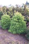 Cryptomeria japonica ELEGANS VIRIDIS