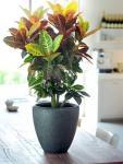 Csoda cserje Croton petra