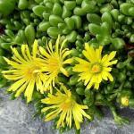 Delosperma nubigeum - sárga délvirág
