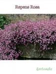 Gypsophila Repens Rosea Havasi Fátyolvirág