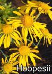 Helenium Őszi Napfény virág