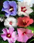 Hibiscus syriacus fajták Mályva cserje