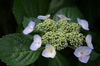 Hydrangea anomala ssp. petiolaris Futó Hortenzia