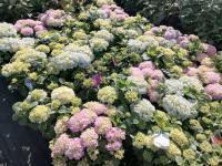 Hydrangea macrophylla Mix Japán Hortenzia